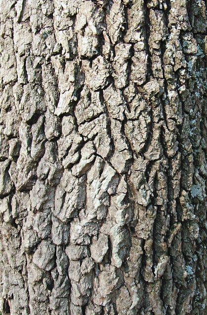 Red Cedar Leaf Identification