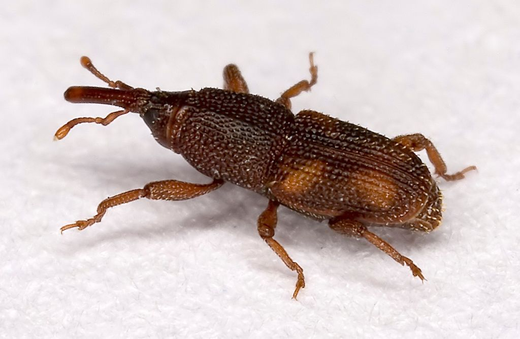 Causes What Flour Weevils