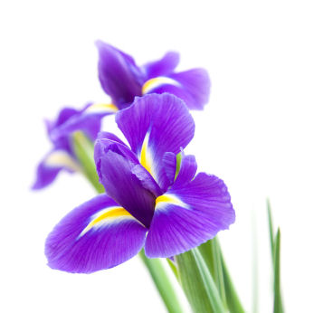 Fun Flower Facts  The Elegant Iris   Grower Direct Fresh Cut Flowers     Birth Month  February  Beautiful dark purple iris flower
