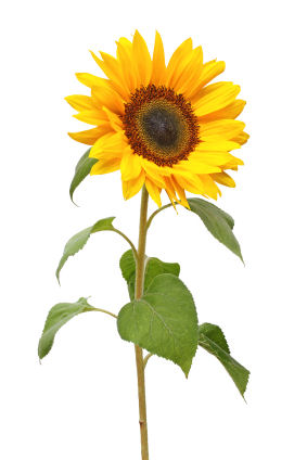 12 Uses for Sunflower   Grower Direct Fresh Cut Flowers Presents    Besides brightening up someone s day  the sunflower is considered to be a  major global cash crop  All parts of the plant  including seeds  stalk and  petals