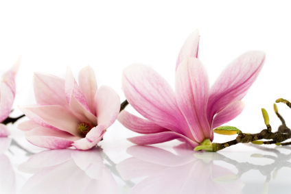 10 Uses for Magnolia   Grower Direct Fresh Cut Flowers Presents    magnolia flowers