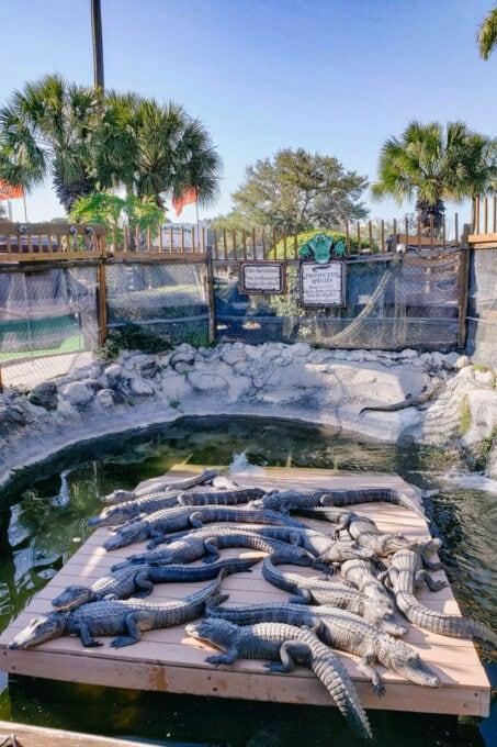 Baby alligators sunning on a platform