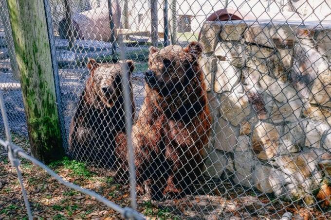 Brown bears at the Big Cat Habitat in Sarasota