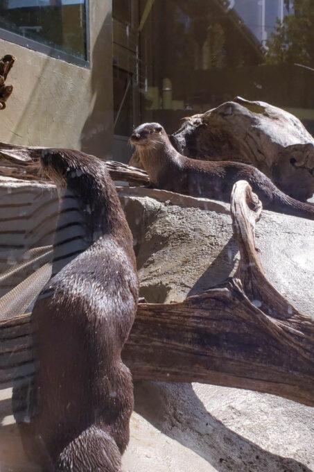 Otters playing at the Mote Aquarium in Sarasota Florida