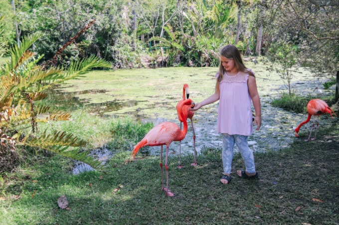 Little girl feeding flamingos