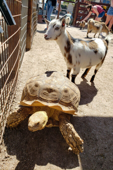 Turtle and goat in petting zoo