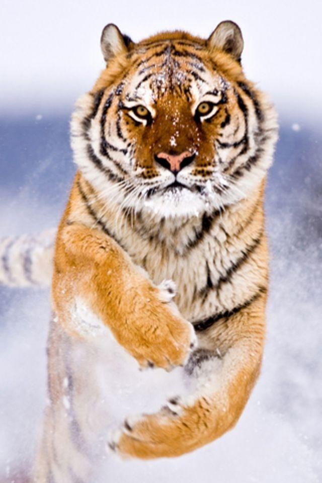 Baby Bengal Royal Tiger