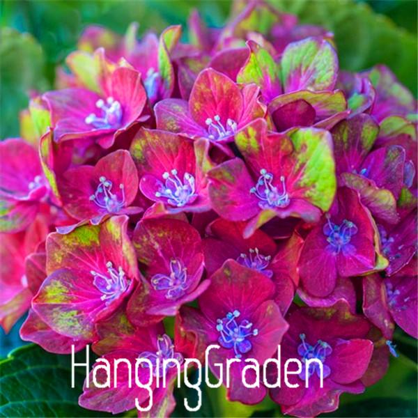100 Pièces graines rares Hoya fleurs boule Orchid Plantes Bonsai RARE livraison gratuite neuf