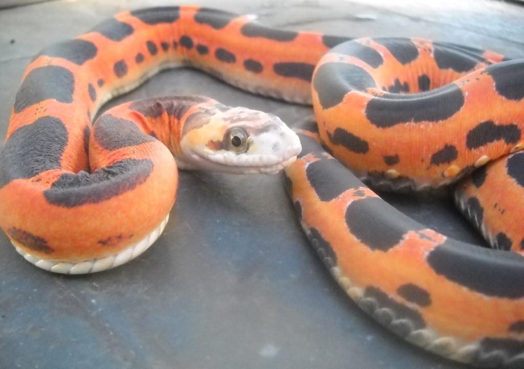 kingsnake.com photo gallery > Rat Snakes > Scaleless Texas Rat