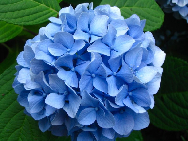 Lawn and Garden Feature  Growing and Caring for Hydrangeas     Lawn and Garden Feature  Growing and Caring for Hydrangeas