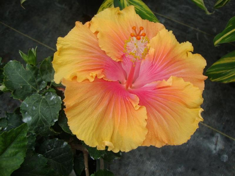 Hibiscus  Plant Care and Collection of Varieties   Garden org Add or edit informational text about this plant