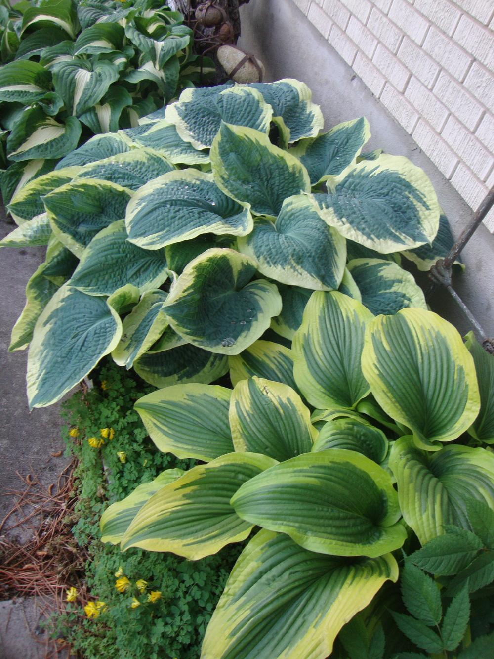 Hostas Are Wonderful In Containers Garden Org