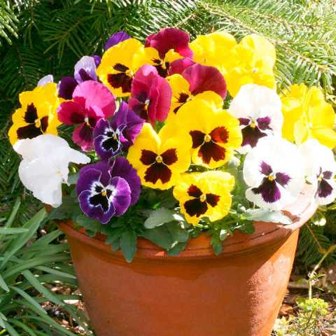 Pansy Seeds   Cassius Mixed F1   Flower Seeds N to Q   Flower Seeds     Pansy Seeds   Cassius Mixed F1