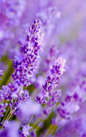 How to Grow Lavender in Every Climate   Gardener s Path Do you want to have your own lavender patch  Learn how to easily grow them