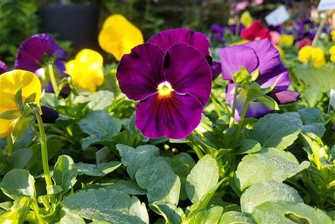 How to Grow Pansies and Violas for Multi Season Color  Gardener s Path Purple and yellow Viola tricolor flowers   GardenersPath com