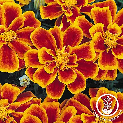 How to Grow the Best Varieties of Marigolds   Gardener s Path Durango marigolds with red orange petals with yellow centers and outlines  of each petal