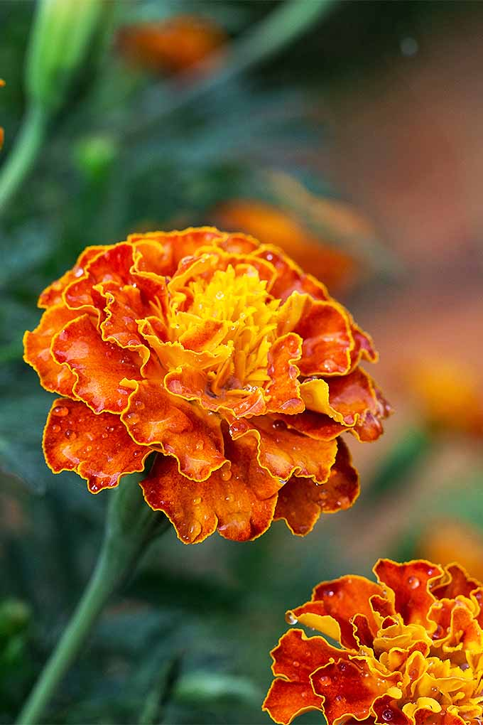 How to Grow the Best Varieties of Marigolds   Gardener s Path Grow gorgeous marigolds this summer  with our tips  https   gardenerspath