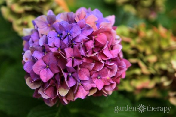 Pretty Pink or Brilliant Blue  How to Make Your Hydrangea Change         hydrangea color change