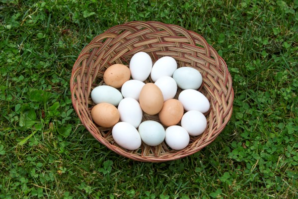 Laying Egg Breeds Chicken Brown