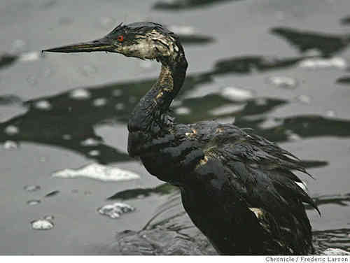 Oil Birds Bp Spill