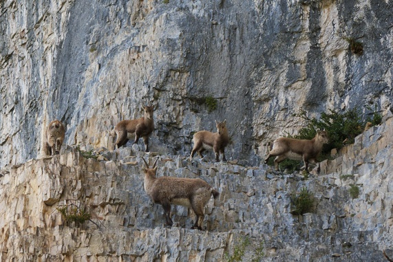 Pictures Vertical Mountain Goats Climbing Cliff