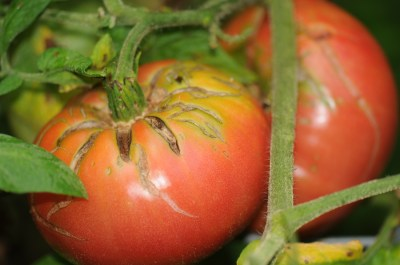 Heirloom Tomatoes - Georgia Coastal Gourmet Farms