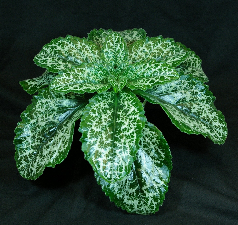 Primulina Dryas Hisako Gesneriad Reference Web