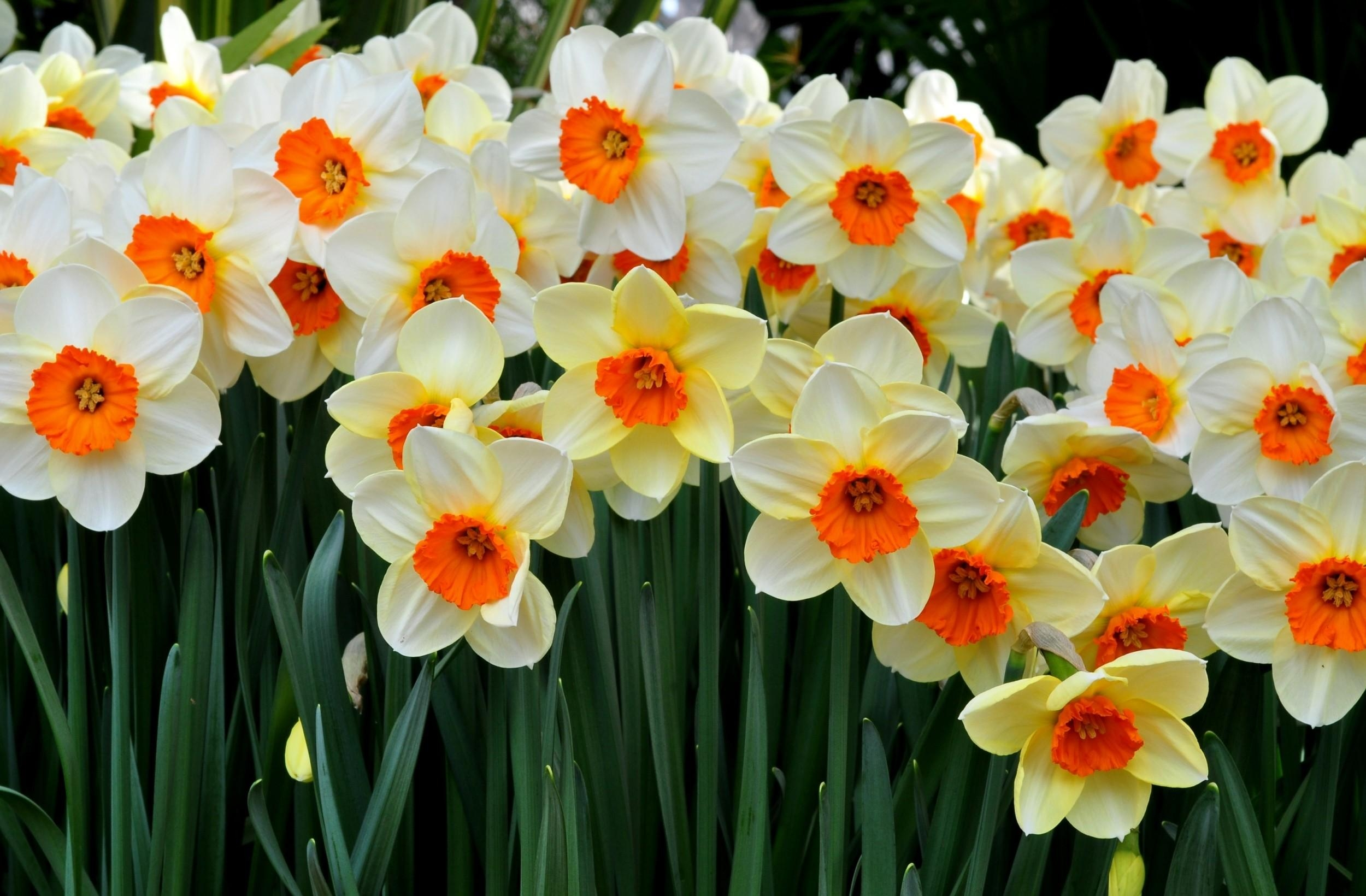 Wallpaper   daffodils  flowers  flowerbed  spring mood 2500x1640     daffodils flowers flowerbed spring mood