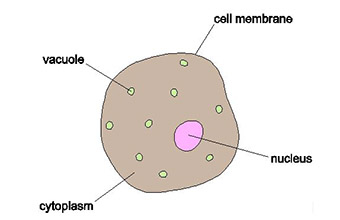 Simple Animal Cell Drawing at GetDrawings com   Free for personal     340x220 Section 5 Cells View as single page