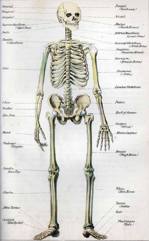 206 Bones Skeleton Labels