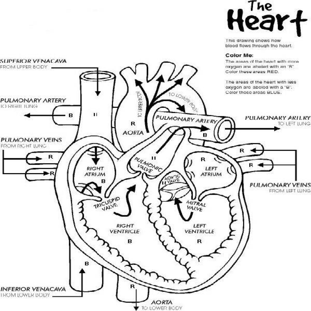 Heart Anatomy And Physiology Coloring Workbook