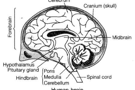 Sketch diagram of brain path decorations pictures full path how to draw a brain youtube simple brain drawing at getdrawings com free for personal use x simple labeled pencil sketch diagram of human brain how to draw ccuart Images