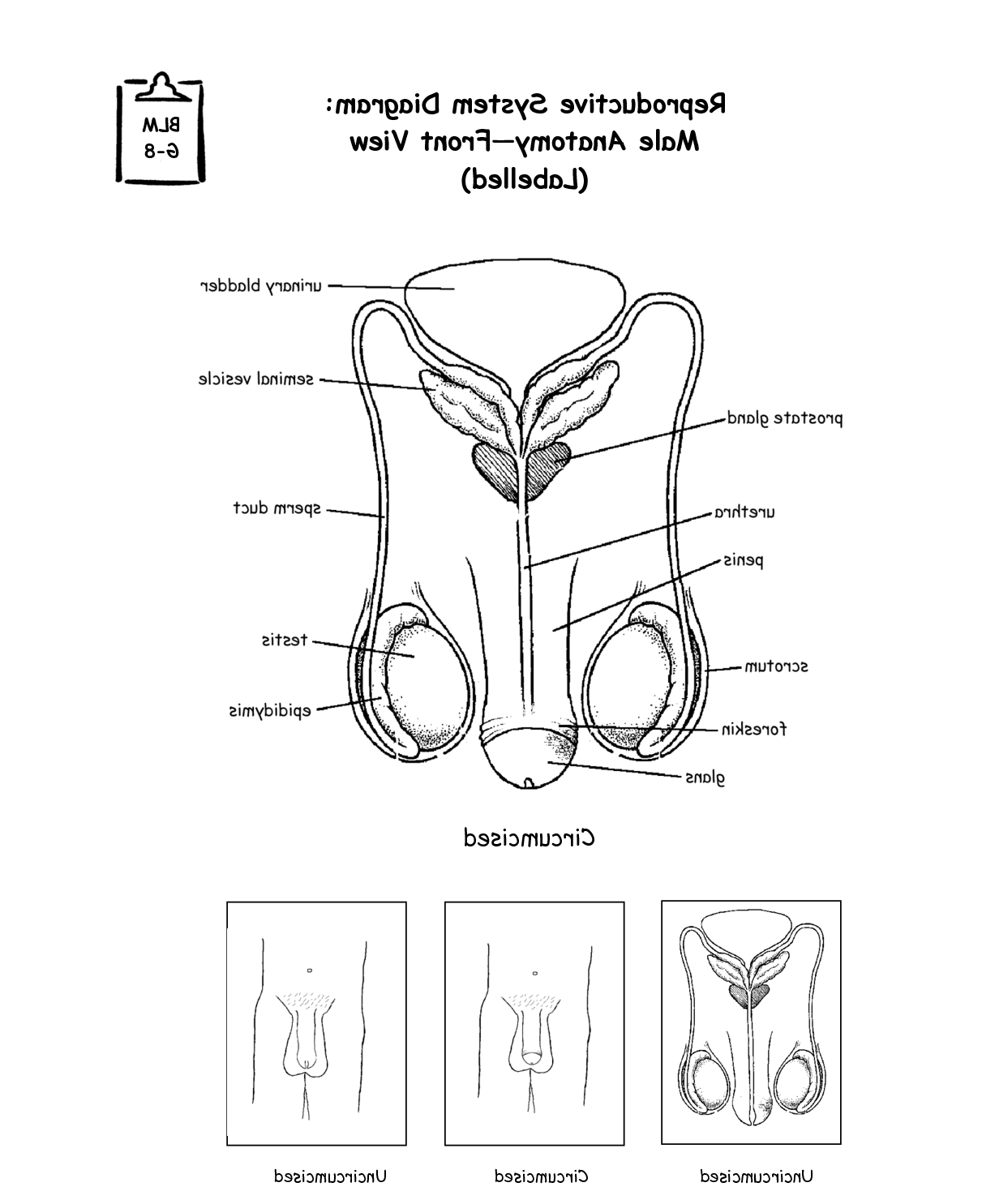 Male And Female Urinary System Diagram Coloring