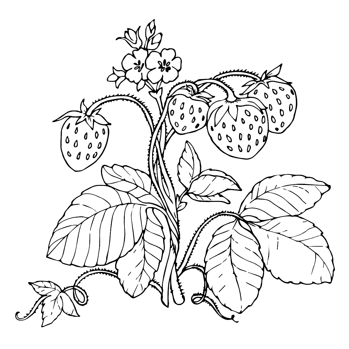 Strawberry plant drawing at getdrawings free for personal use strawberry plant drawing 21 strawberry plant drawing
