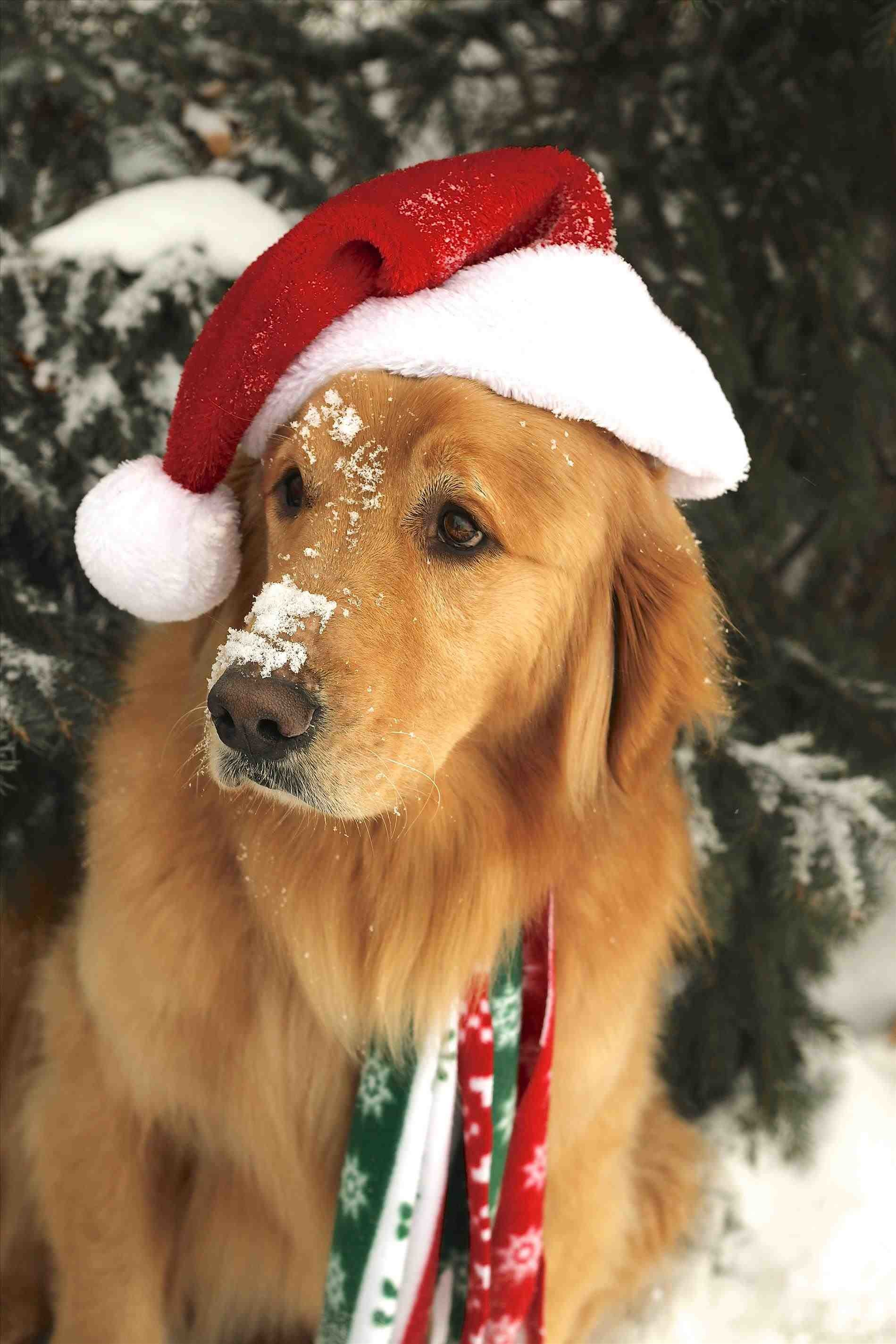 Golden Puppies Retriever Christmas Wallpaper