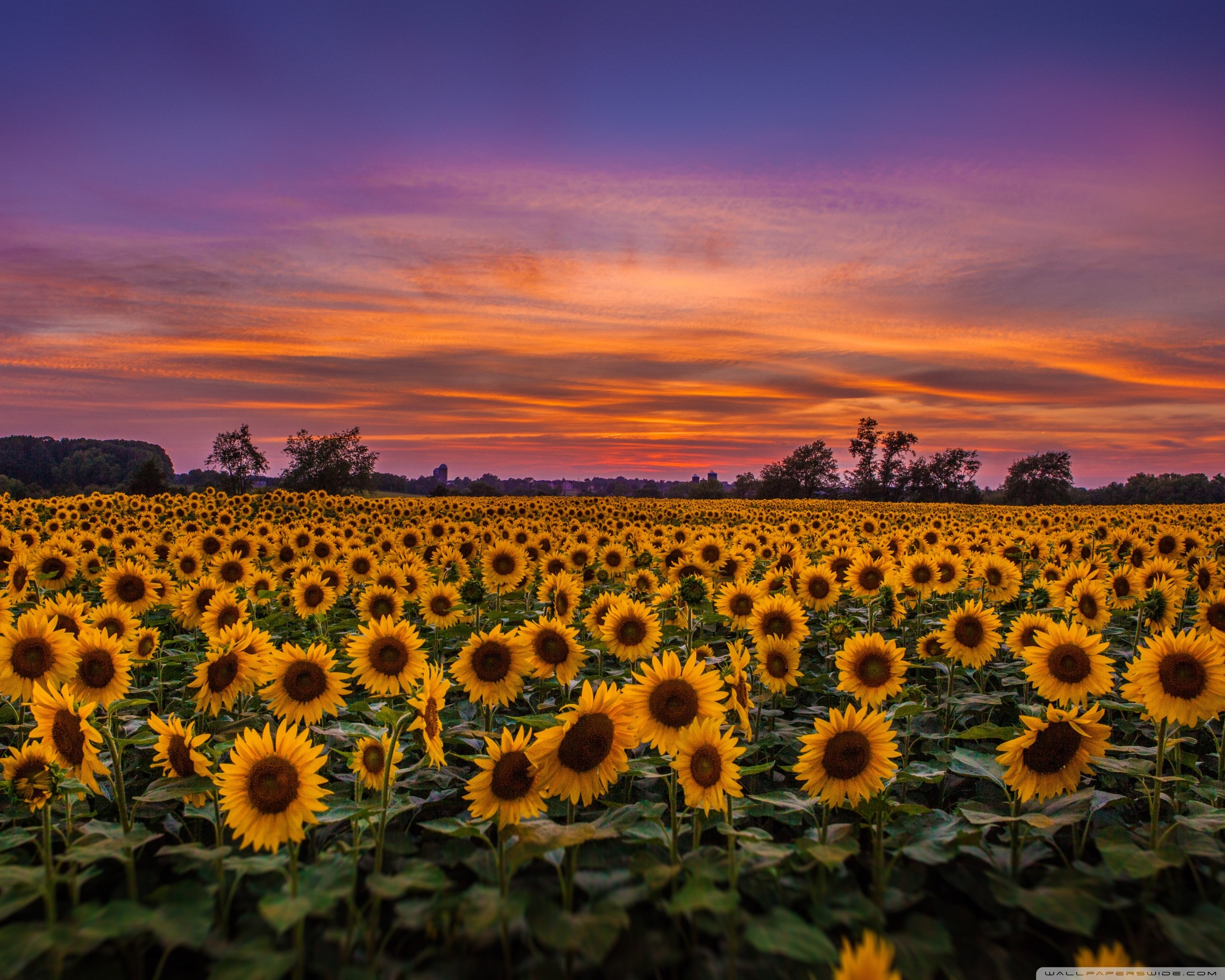 Sunflower Desktop Backgrounds High Resolution