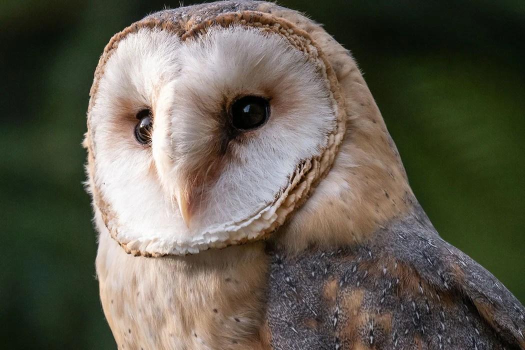 Adopt a barn owl | Symbolic animal adoptions from WWF