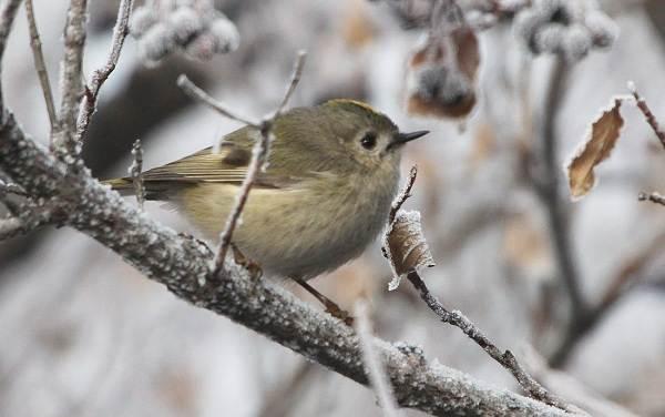 Зимующие-птицы-Названия-описания-и-особенности-зимующих-птиц-14