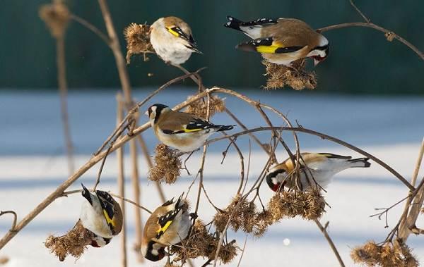Зимующие-птицы-Названия-описания-и-особенности-зимующих-птиц-18