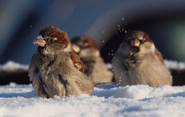 Зимующие-птицы-Названия-описания-и-особенности-зимующих-птиц-6