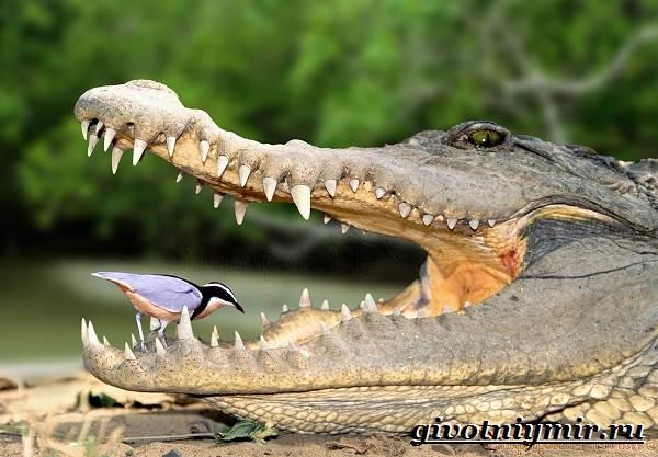 تمساح-الحيوان-نمط الحياة-و -4 - التمساح الصالح - 4