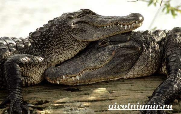 التمساح والحيوان-نمط الحياة والبيئة - التمساح - 6