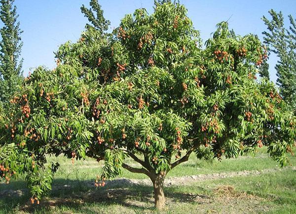 شجرة ليرة في الحديقة