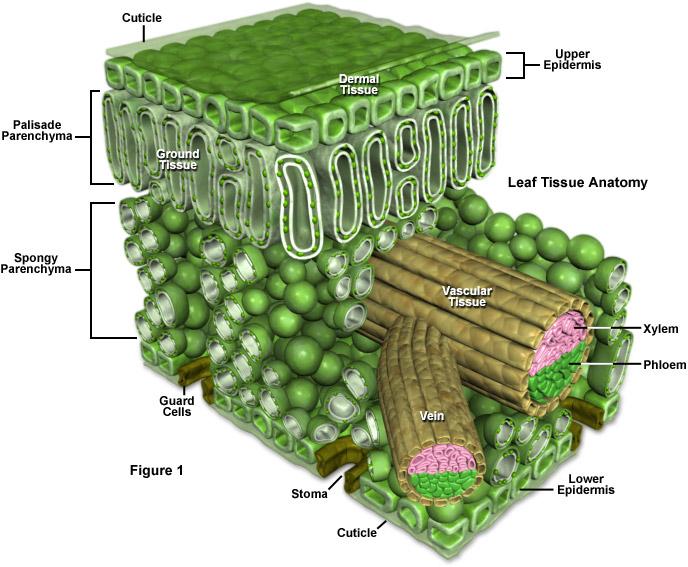 Tissue Layers Leaf
