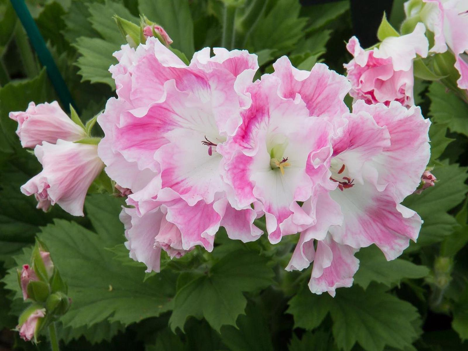 Regal Geraniums - Goffle Brook Farms