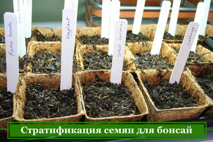 Preparation of bonsai seeds for sowing pots