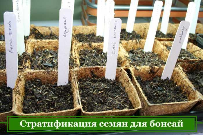 Förberedelse av bonsaifrön för sådd krukor