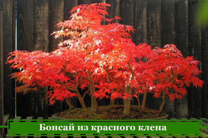 Growing bonsai from red and Japanese maple
