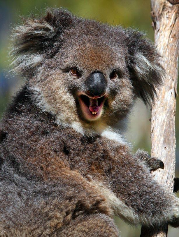 Smiling animals - Koala bear - goodtoknow