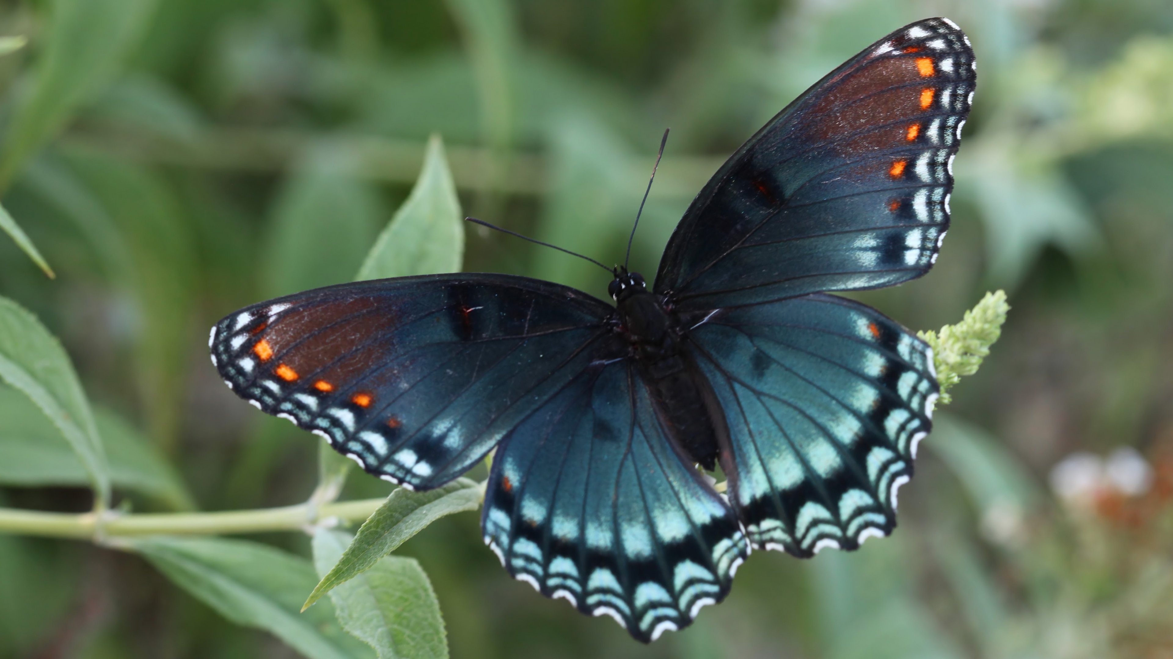 Red Spotted Purple Butterfly Wallpaper   Mobile   Desktop Background Red Spotted Purple Butterfly